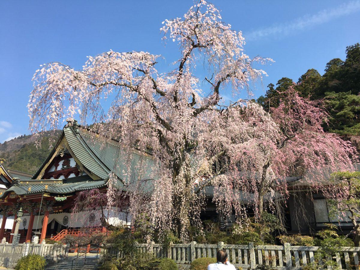 春です!身延山の桜案内とお泊まり観桜のススメ