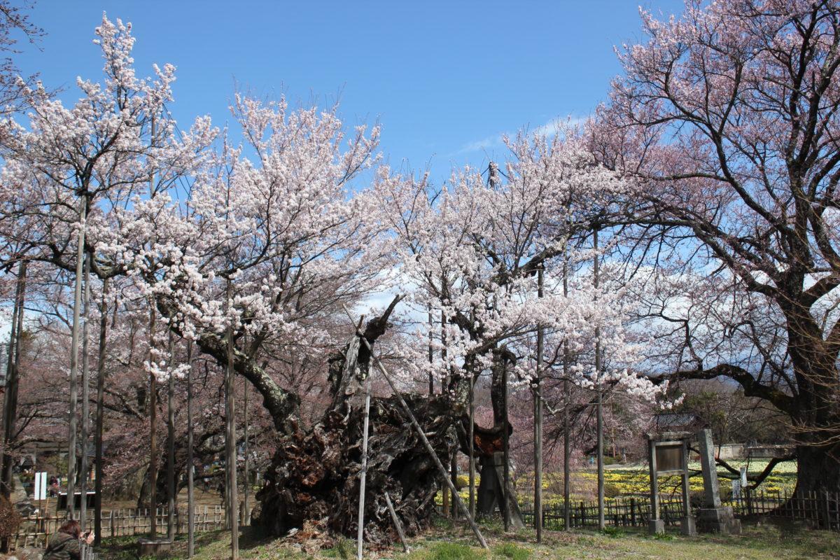 ご利益寺を巡ろう!日本最古の「山高神代桜」が咲き誇る「大津山 實相寺」のご利益とは
